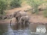 Elephant gets bitten by crocodile