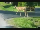 Deer jumps over car