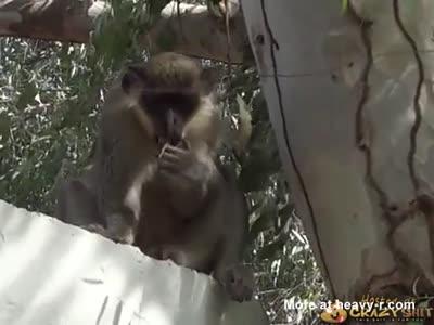 Monkey Eating His Own Sperm