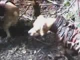 Cruel way to kill a pig