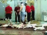Halal slaughter house