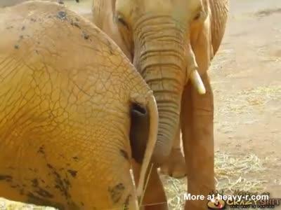Elephant Eating Shit