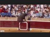 Mad Bull Attacks Crowd