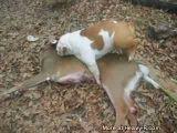 Bulldog humping a dead deer