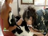 Organic farm goat castration