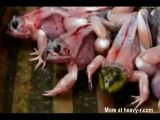 Alive skinned frogs sold at market