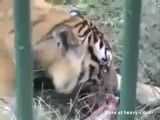 Tiger Eats Dude's Arm