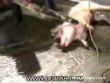 Decapitated pig