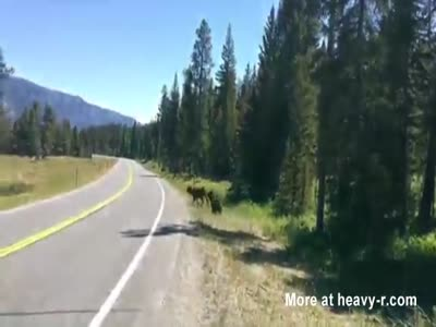 Grizzly Bear Attacking a Cow