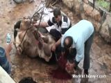 Cow Sacrificed For A Free Syria