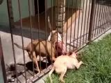 Killer dogs attack other dog