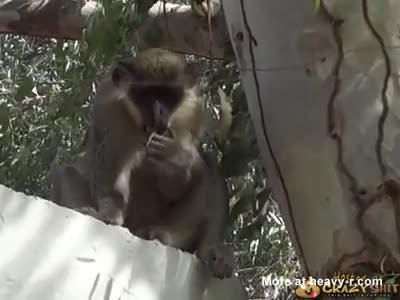 Monkey Eating His Own Sperm