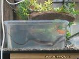 Snake vs Goldfish