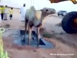 Camel rescue gone wrong