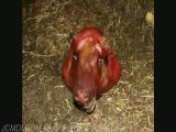 Squirrel vs pigs head