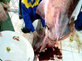 Harvesting Caviar From Beluga Whale