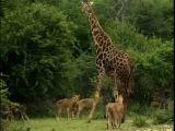 Lion Kills Giraffe