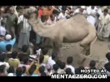 Camel attacks crowd, killing one person