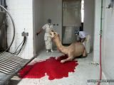 Halal Slaughter Of Camel